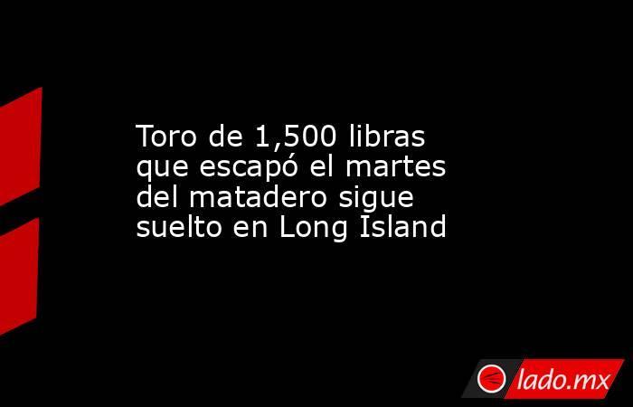 Toro de 1,500 libras que escapó el martes del matadero sigue suelto en Long Island. Noticias en tiempo real
